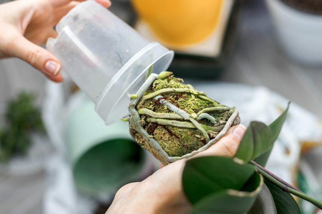 Umtopfen einer Orchidee