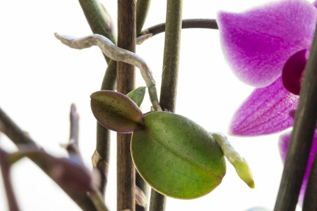 Vermehren einer Orchidee