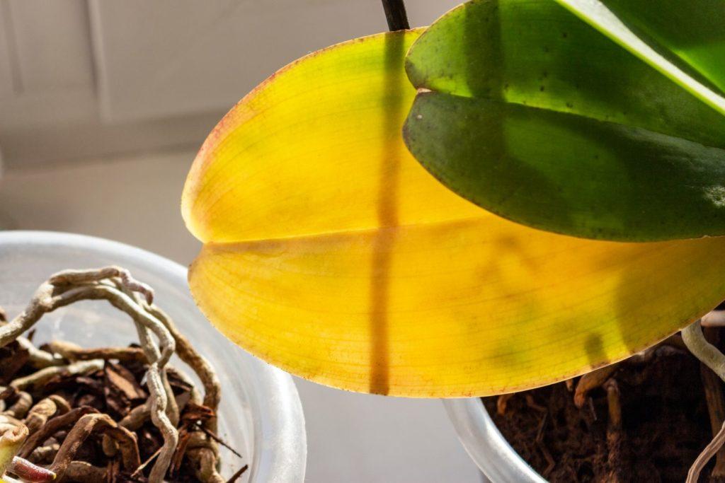 Orchidee wirft Blätter ab