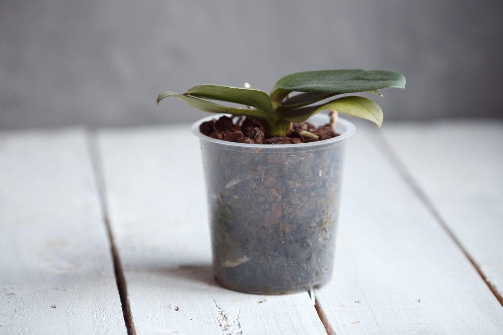 Orchideenpflege nach der Blüte