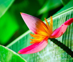 Pinke Blüte Banane