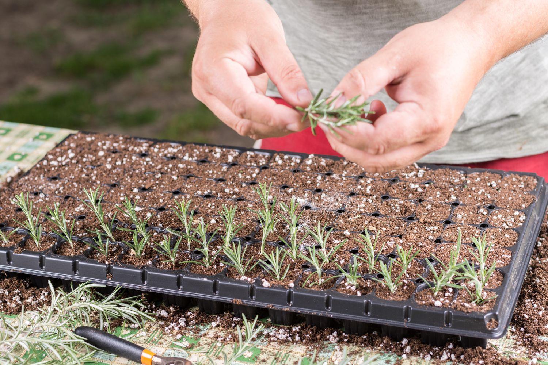Vermehren des Rosmarin