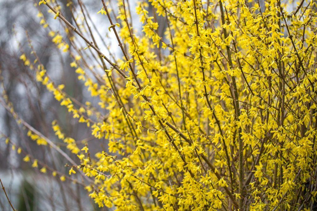 Forsythienzweige mit gelben Blüten