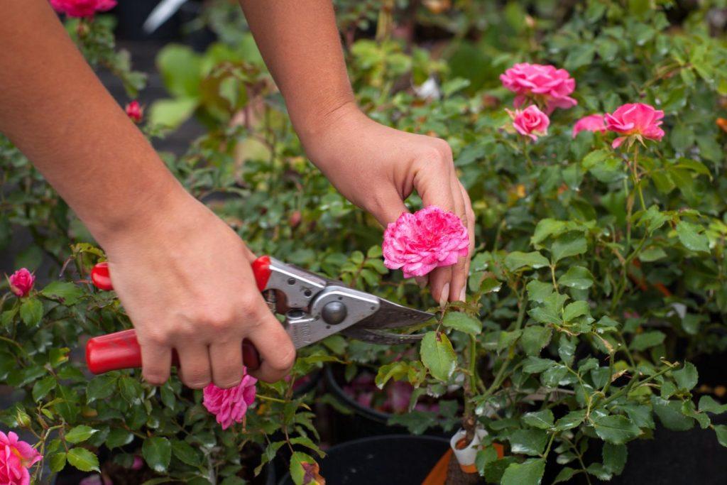 Rosen werden geschnitten