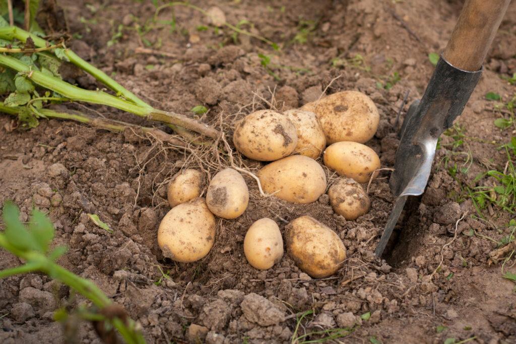 Ausgraben von Kartoffeln bei der Ernte