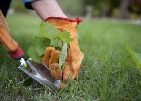 Unkrautpflanze Entfernen Mit Schaufel Rasen