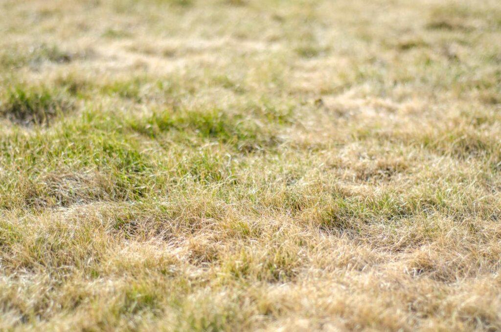 Vertrockneter Rasen