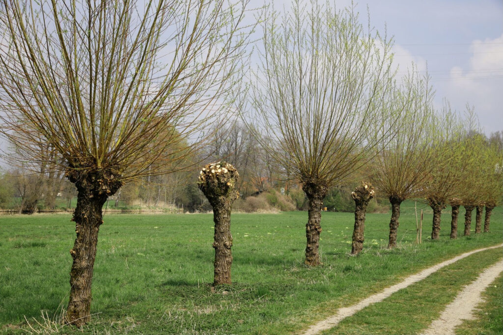 zurückgeschnittene Weiden
