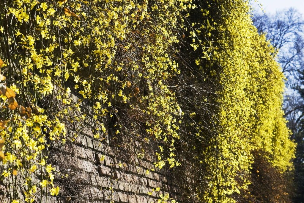 Kletterpflanze Winterjasmin an einer Mauer