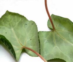 Alpenveilchen Blattläuse