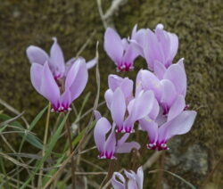 Alpenveilchen Cyclamen Purpurascens