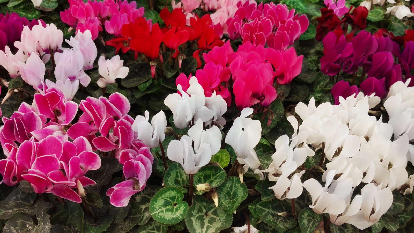 Alpenveilchenarten: Vielfalt zwischen Beet- & Zimmerpflanze - Plantura