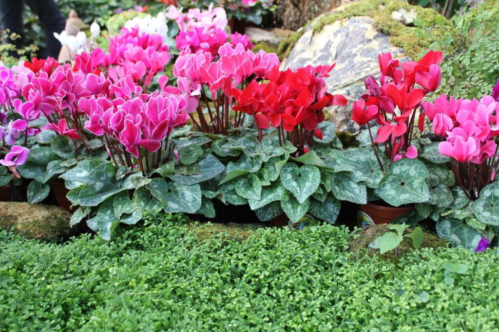 Alpenveilchen im Garten