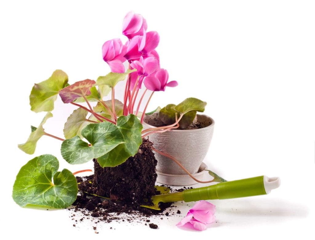 Alpenveilchen umtopfen Blumentopf grüne Schaufel