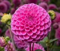 Ball-Dahlie Pinke Blüte