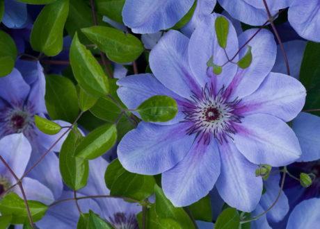 Blaue Blüte Clematis