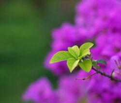 Bougainvillea Blätter Austrieb