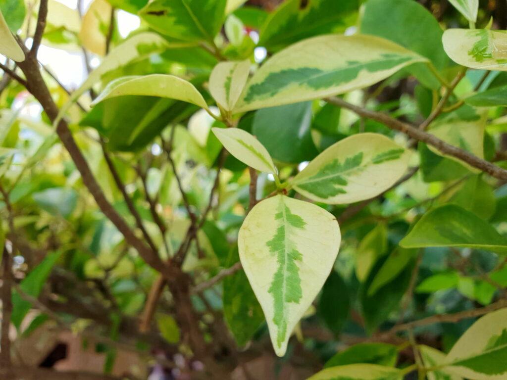 Bougainvillea Blätter grün weiß