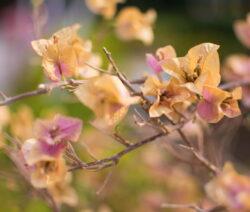 Bougainvillea Blüte Verblüht