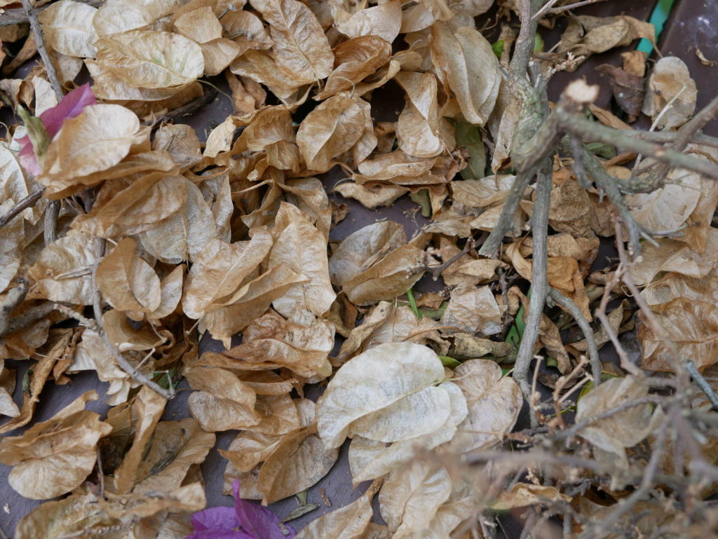 Bougainvillea Blüte verblüht herbst winter