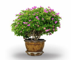 Bougainvillea Im Topf Bonsai