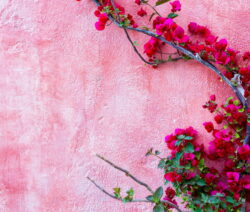 Bougainvillea Rankt An Hauswand Pink Rosa