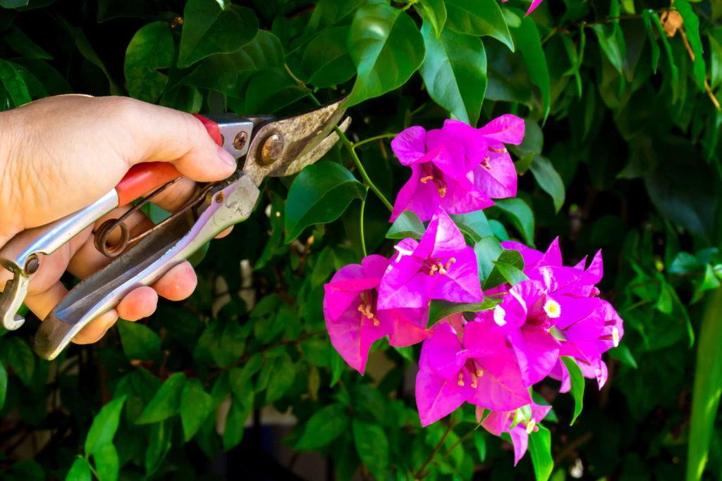 Bougainvillea schneiden Hand mit Gartenschere schneidet Ast