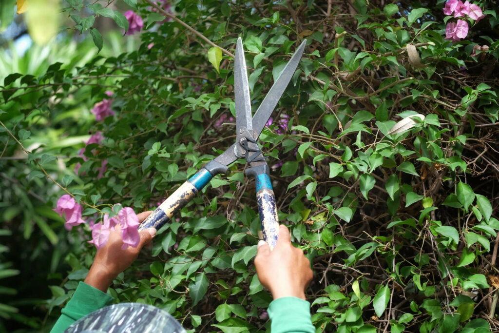 Bougainvillea schneiden mit Heckenschere