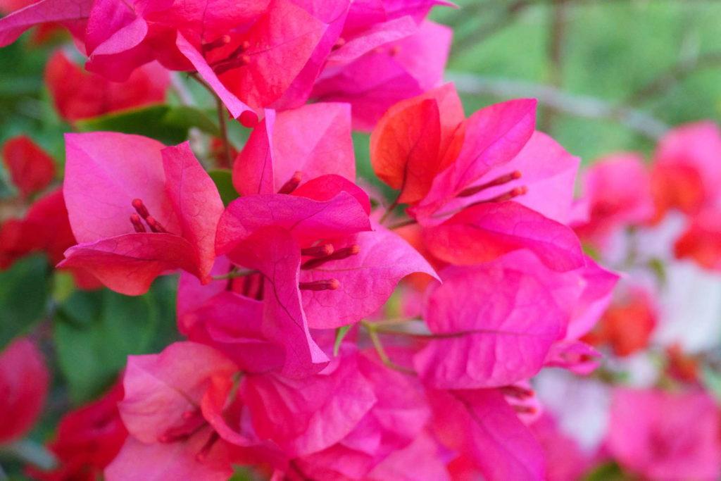 Bougainvillea spectabilis pinke Blüten