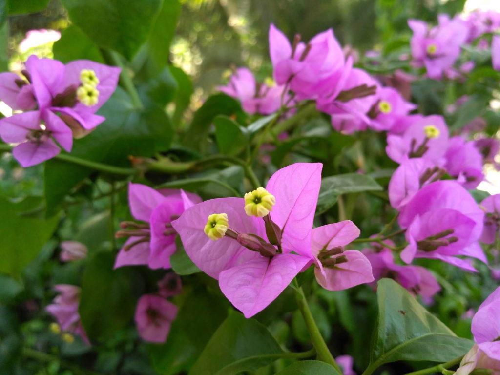 Bougainvillea spectabilis violett
