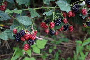 Brombeere Ast Früchte Beeren