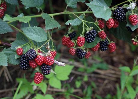 Brombeeren: Experten-Tipps Zum Pflanzen, Vermehren & Entfernen