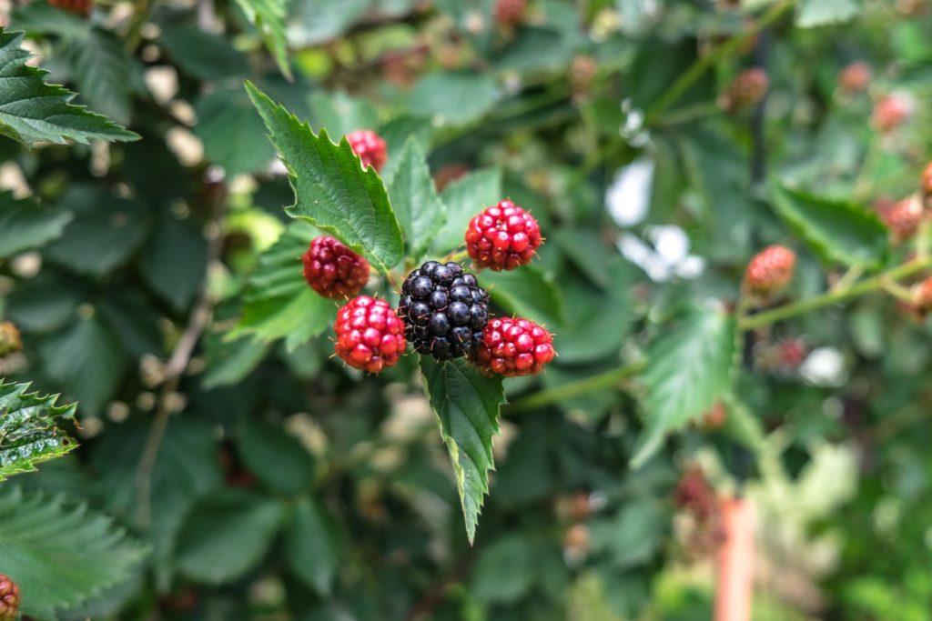 Brombeeren Experten Tipps Zum Pflanzen Vermehren Entfernen
