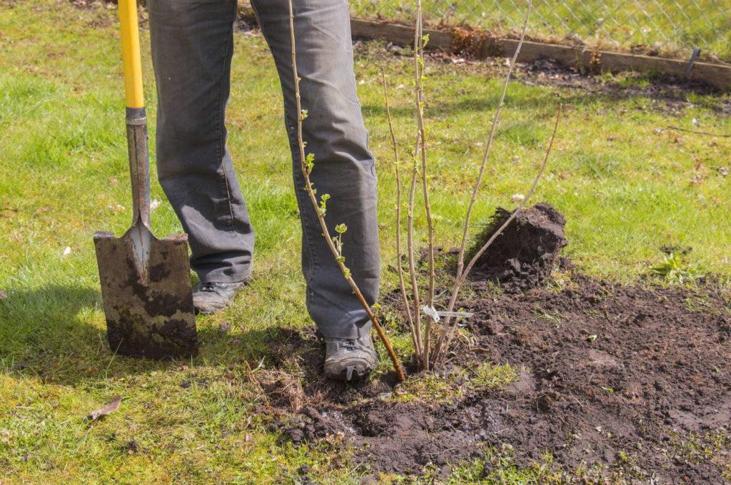 Brombeere pflanzen mit Schaufel
