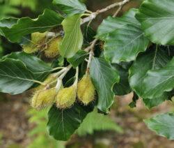 Bucheckern Ast Blätter