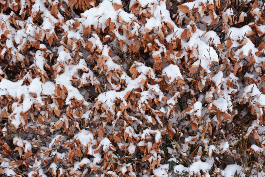 Buchenhecke Winter Schnee