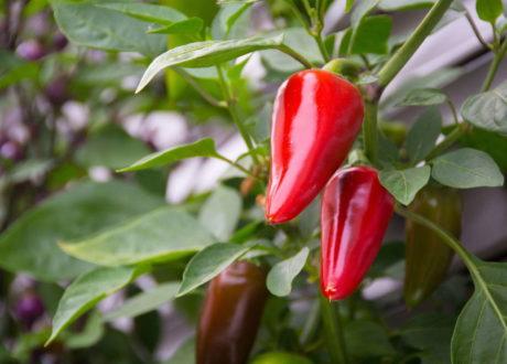 Chilipflanze Chili Rot Scharf