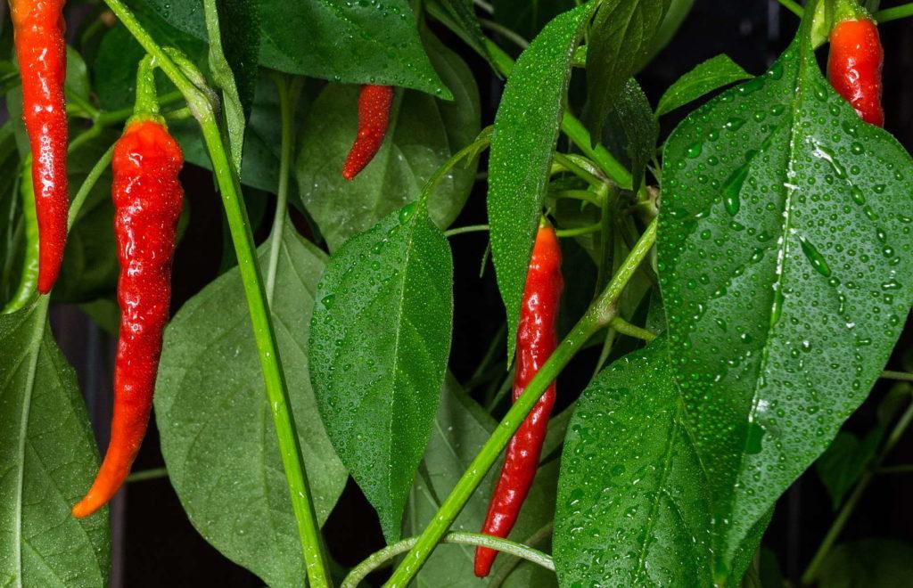 Chilipflanze Wassertropfen