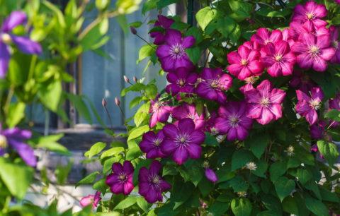 Clematis Im Garten Pflanzen: Tipps Vom Profi