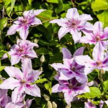 Clematis Alpina Rosa Violette Blüte