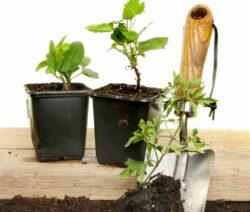 Clematis Einpflanzen Mit Schaufel