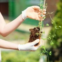 Clematis Pflanzen Mit Händen