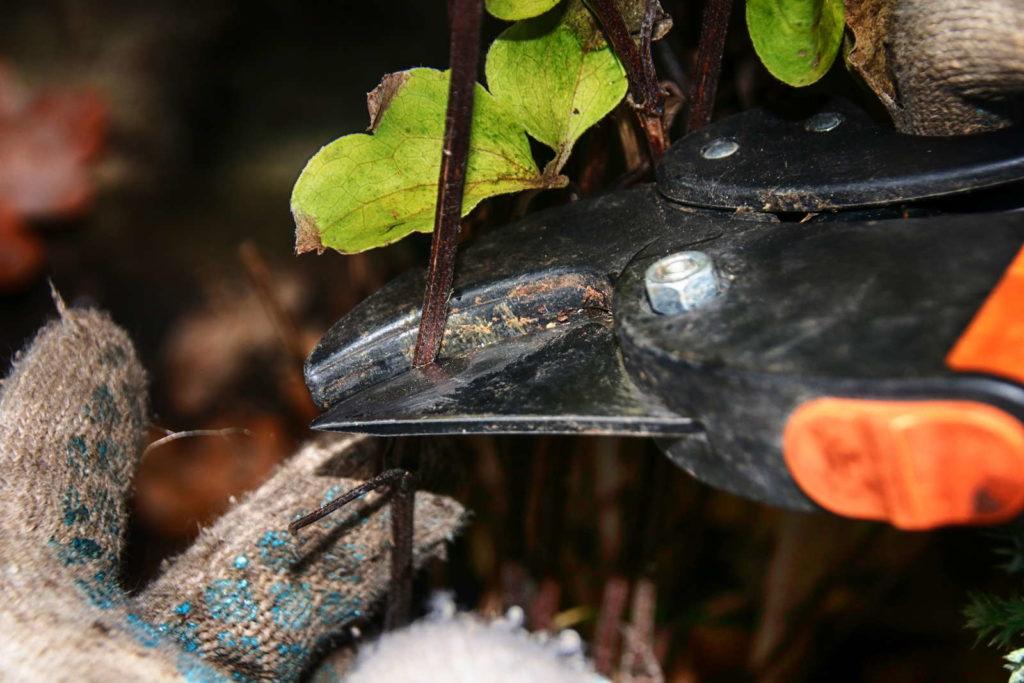 Clematis schneiden mit Gartenschere 3