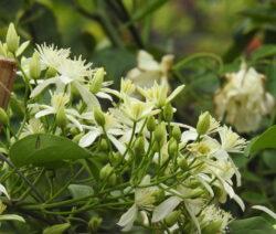 Clematis Vitalba Weiße Blüten