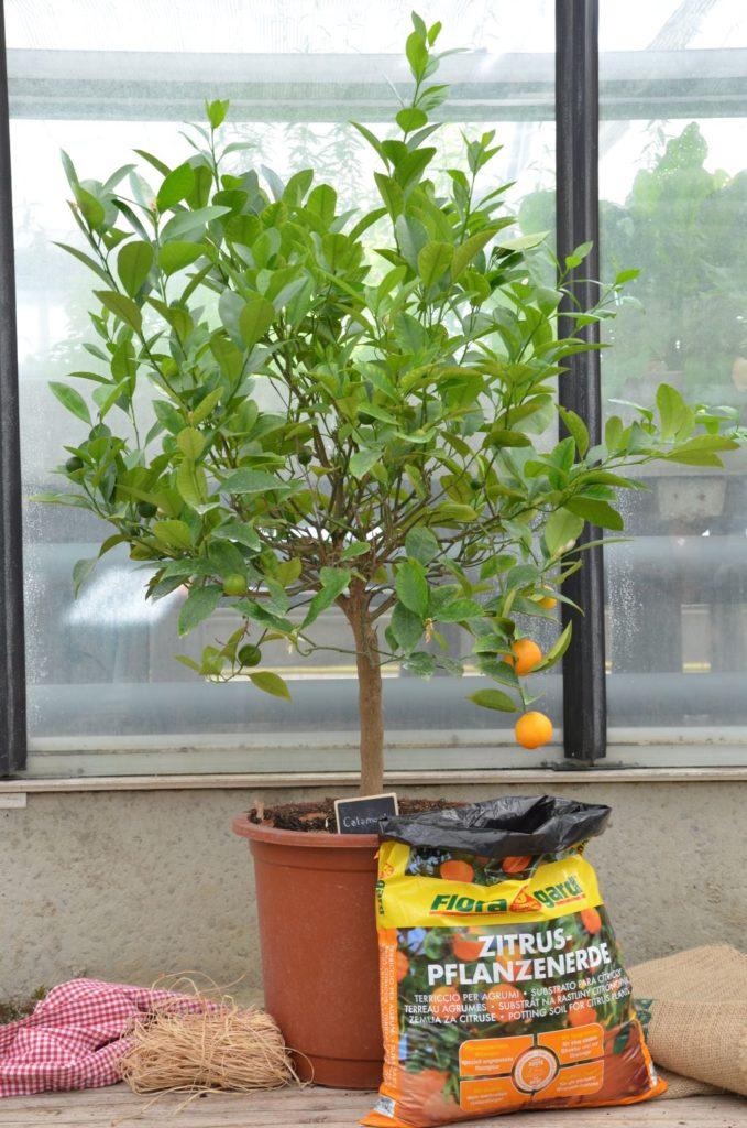 Orangenbaum mit Erde im Topf