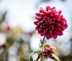 Dahlie Blüte Frost Winter 2