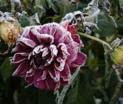 Dahlie Blüte Frost Winter 3