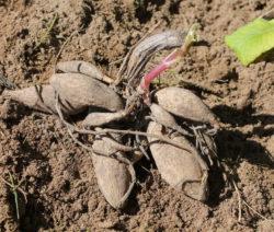 Dahlie Wurzeln In Erde Pflanzen