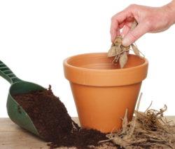 Dahlie Zwiebel In Topf Pflanzen