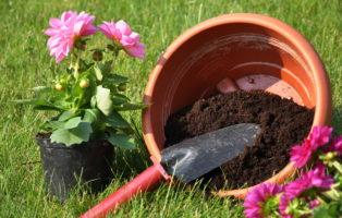 Dahlien Umtopfen Dahlen Anpflanzen Topf Mit Erde Und Schaufel